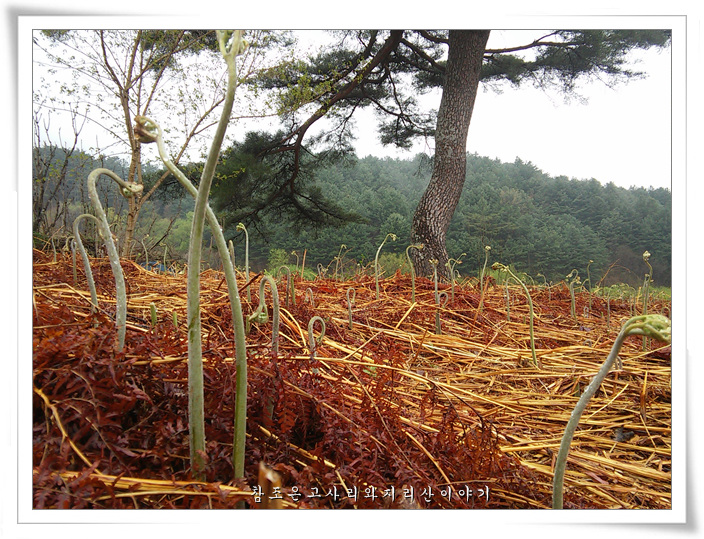 고사리수확 (8).jpg